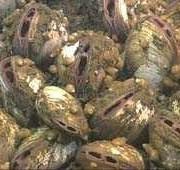 Vesicomyid clams