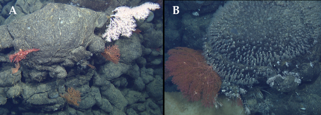 (A) Various long-lived deep-sea corals growing on pillow lava. Deep-sea corals are long-lived, so are an indication that this lava they are attached to erupted many years ago. Small brittle stars typically perch on the corals to take advantage of small food particles floating in the water. (B) Some of the pillow lavas had dense polyps (zoanthids) covering them, and had spike-like carnivorous sponges as well.
