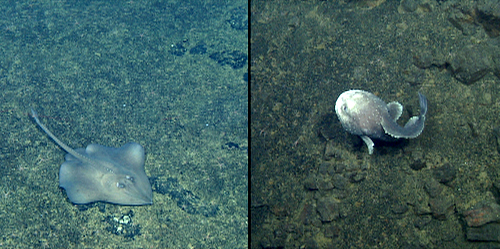 juvenile deep-sea skate (Bathyra abyssicola) and blob sculpin (Psychrolutes phrictus)