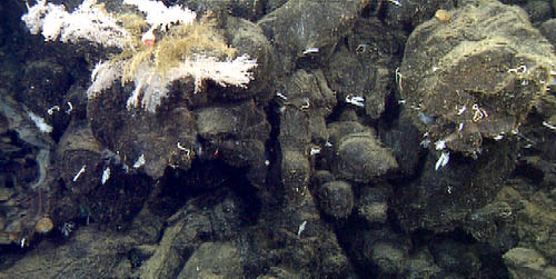 Lavacicle (center) dripped over the edge of Cage Seamount's outer wall, and is evidence that the talus slope below was constructed while the volcanic cone was growing, rather than simply due to erosion later. The corals (Chrysogorgia) have found an advantageous spot at the very rim.