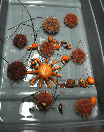 urchins collected