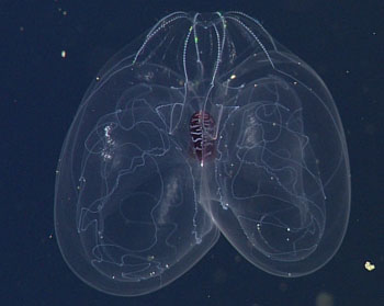 The gelatinous lobate ctenophore with wing-like lobes.