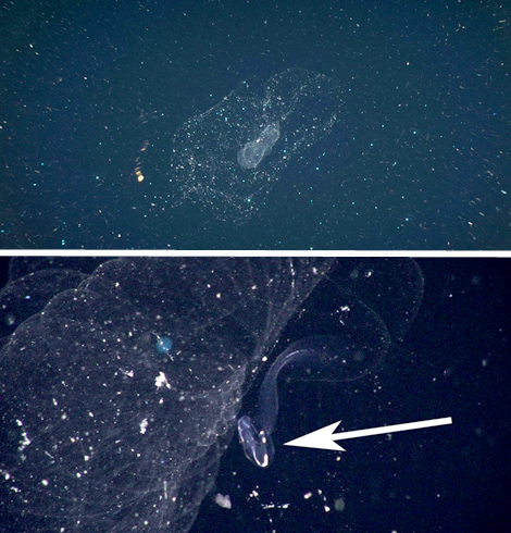 Here are two images of giant larvaceans we saw today. The upper shot shows a larvacean's mucous