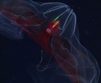 This comb jelly, Bathocyroe sp. has a red gut to hide the bioluminescence of the animals in its gut!
