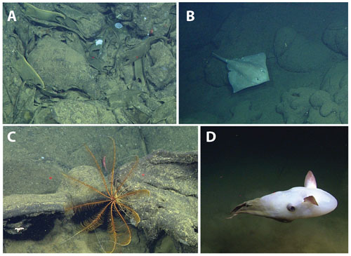 Montage of some animals seen on today's dive. A: Dark, empty skate egg cases lie in great abundance on the seafloor and newly laid, yellow ones were seen nearby. This site has obviously been used as a skate nursery for a long time. B: An adult skate. C: A crinoid (feather star) clings to a lava flow (red laser dots are 29 centimeters apart for scale). D: A large finned octopod swims past the ROV.