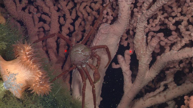 Close-up of coral, crab, and anemone at Sur Ridge