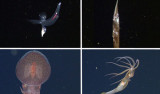 Clockwise from upper left: Carinaria japonica, a heteropod that is abundant in these tropical waters, but rare in Monterey Bay; Serrivomer, a type of deep-sea eel found here and at home; Grimalditeuthis bonplandi, a deep-sea squid that we are seeing for only the second time in MBARI's 27 years of deep-sea exploration; Japetella diaphana, a species of midwater octopus that is relatively abundant in the Gulf compared to Monterey Bay. A few of the scientists onboard this cruise published research on Grimalditeuthis bonplandi in 2013, speculating that they may use their tentacles to lure prey.