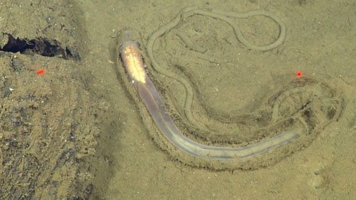 This worm is an enteropneust, or acorn worm. It digests the organic material off sediment (you can see the sediment inside its gut), and leaves a trail of leftover sediment behind. The light-colored mass at the other end contains reproductive material. The red laser dots are 29 centimeters apart for scale.