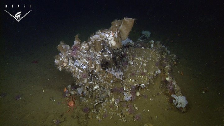 A large mound of sponges, anemones, and tunicates provides habitat for mobile animals like crabs and shrimp.