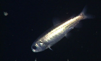 On the fourth day of the cruise we encountered a rare deep-sea in the Bathylagid family. This lanternfish has a beautiful black metallic iridescent skin.
