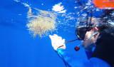 Alana Sherman investigates Sargassum seaweed in situ. Photographer: Kathleen Sullivan-Sealey
