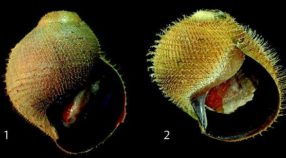 Images of the new Alviconcha species: 1) A. hessleri, 2) A. kojimai, 3) A. boucheti, 4) A. marisindica, 5) A. strummeri, 6) A. adamantis.