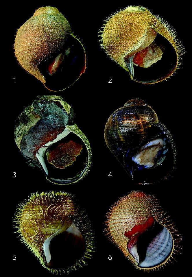 Images of the new Alviconcha species: 1) A. hessleri, 2) A. kojimai, 3) A. boucheti, 4) A. marisindica, 5) A. strummeri, 6) A. adamantis.