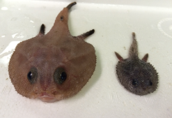 Representative specimens of two species of batfish that we observed off Cabo Pulmo.