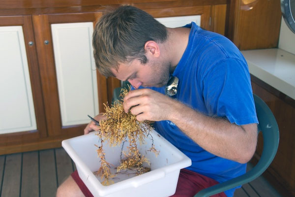 Back on the ship, the research team processed the buckets of Sargassum. Here, Jeff Peterson inspects a sample. Small shrimps, crabs, and other mobile animals were sorted and grouped into sample jars.