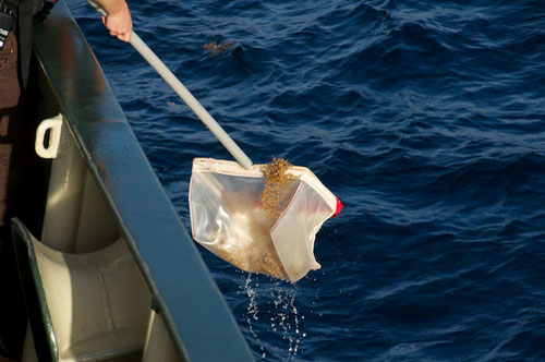 Researchers dip a net in the water from the side of the ship to collect Sargassum samples.