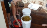 Susan von Thun rinses the seaweed with fresh water to remove any remaining fauna such as tiny amphipods.