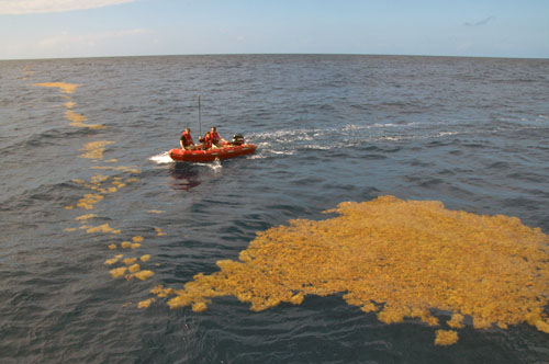 The tender boat approaches a large raft of Sargassum.