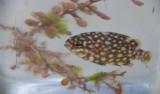A juvenile sea chub found in Sargassum. More than 80 different species of juvenile fish associate with Sargassum seaweed.