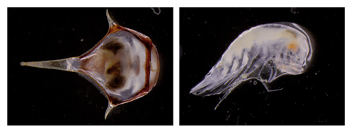 Left: Researchers extracted this pteropod, a swimming mollusk, from the sediment trap samples. Right: They also found this amphipod, a small shrimp-like crustacean, in the samples. Photos: Debbie Nail Meyer