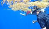 Jeff Drazen snorkels under a patch of Sargassum.