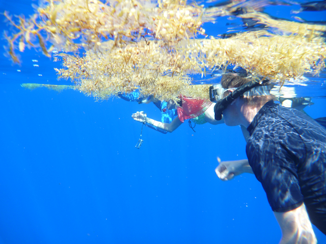 Jeff Drazen snorkels under a patch of Sargassum.