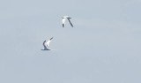 """Two white-tailed tropicbirds flew around the ship today as we neared Bermuda. These seabirds feed on fish and squid by diving into the surface waters. In Bermuda this characteristic bird is called """"Longtail"""" for its prominent tail feathers."""