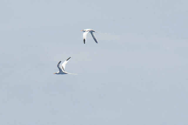 "Two white-tailed tropicbirds flew around the ship today as we neared Bermuda. These seabirds feed on fish and squid by diving into the surface waters. In Bermuda this characteristic bird is called ""Longtail"" for its prominent tail feathers."