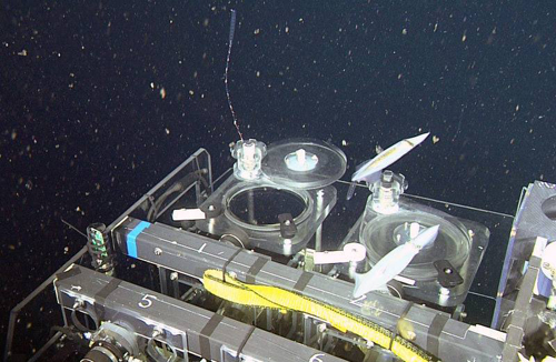 The ROV pilot flies the ROV to capture the small siphonphore, Nanomia bijuga, as many squid swim by.