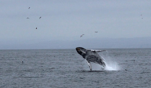 Humpback whale breaching in Monterey Bay.