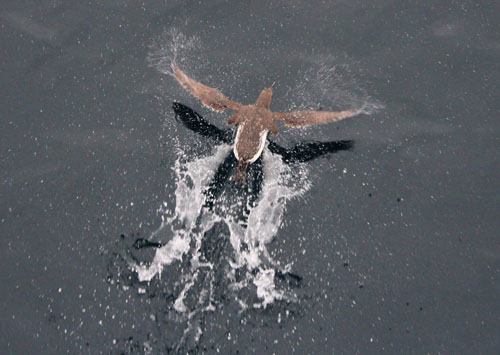 A common murre takes off from the water as the ship passes.