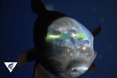 Researchers aboard the Western Flyer observed a barreleye fish, Macropinna microstoma.