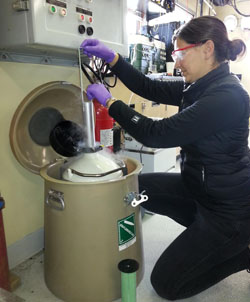 Postdoctoral Fellow Stephanie Bush flash freezes samples with liquid nitrogen.