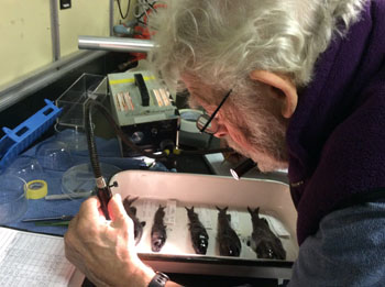 Senior Scientist Bruce Robison examines bathylagid fish in the dry lab after the day's ROV dive.