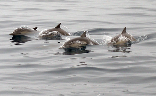 What expedition blog is complete without an obligatory photo of charismatic megafauna? Victoria captured this photo of four Pacific white-sided dolphins surfacing off the bow.