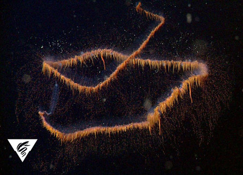 This undescribed physonect, called the galaxy siphonophore by Haddock and his collaborators, is one of the more spectacular of the deep-living species observed this week. It is often found in this spiral shape, casting its many tentacles all around like a spider in its web.