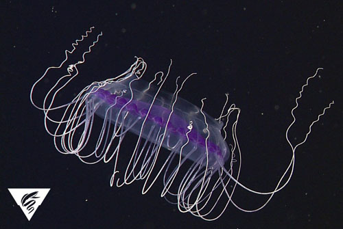 This Solmissus jelly is probably its deep purple color because of it's prey—in this case, another purple jelly!
