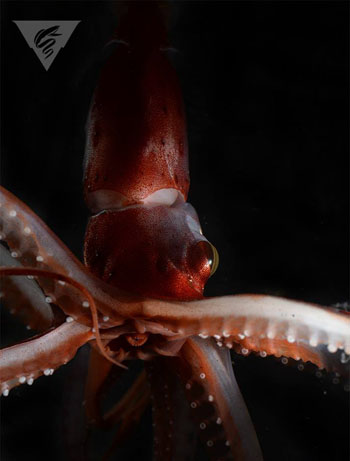 In this close-up photo taken in the lab by Haddock, you can see the squid's large eye and its mouth in the center of the arms.