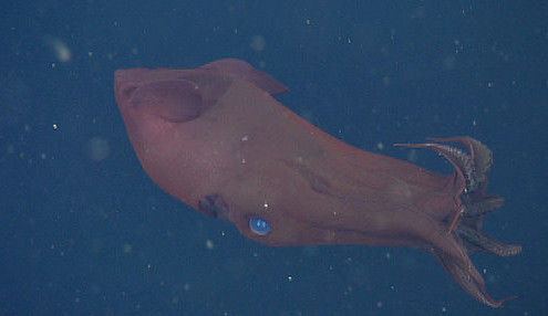 Vampyroteuthis, the vampire squid