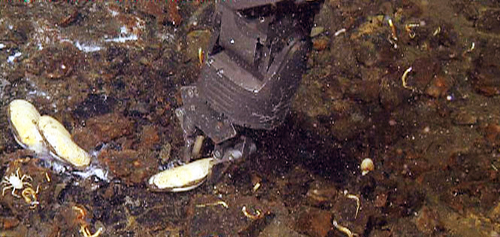 The ROV's manipulator arm collecting a clam from an active vent site.