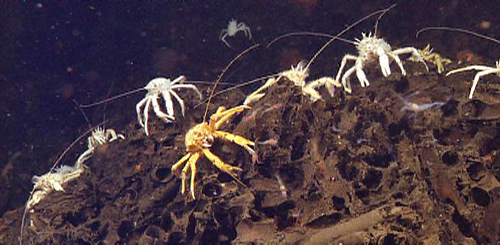 An army of squat lobsters advances over the top of a mound of old tube worm casings.