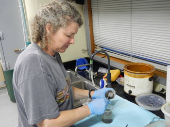 Figure 3. Jenny Paduan removing the wax with rock fragments from the collecting cups and putting the wax in a beaker full of water.