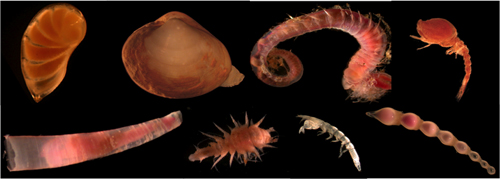 Examples of microscopic animals that live in marine sediments. Hundreds of these animals can live in a small quantity of deep-sea mud.