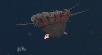 Nausithoe carrying two hyperiid amphipod hitchhikers. Pelagic amphipods are known to lay their eggs on or inside a jelly. They may even eat their medusa host.