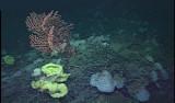 Diverse invertebrate community on Davidson Seamount Image © MBARI 2000