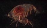 Primno (amphipod). Photo taken in the lab by Rebeca Gasca.