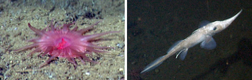 Some of the day's sights included this pink anemone (left), a long-nose ratfish (left), and a skate (below).