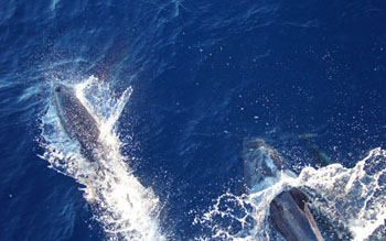 A more affable gang of dolphins came by to play off the bow of the ship. Photo: Monique Messié