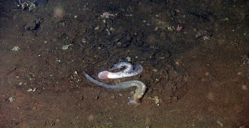 Two acorn worms spiraling around each other on the mud; the white eggs are visible just inside their transparent bodies. These most likely belong to a new species. When a new species is described, scientists choose a single specimen, usually in excellent condition, to base their description on. We collected a beautiful specimen that will serve as the holotype when this organism is described and deposited in a museum.