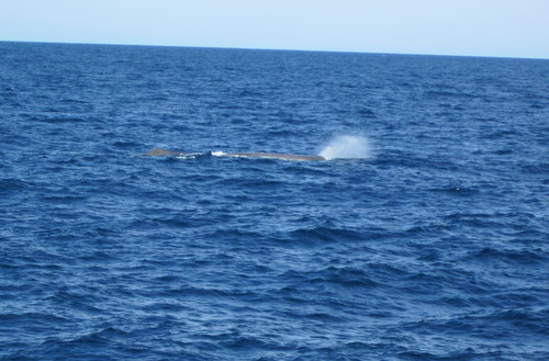 Thar she blows! Sperm whale off the stern. Photo by Kyra Schlining